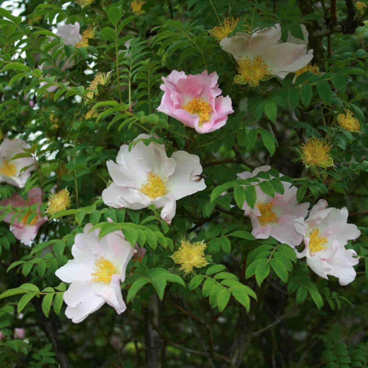 Pindsvinerose - Kastanjerose - Rosa roxburghii