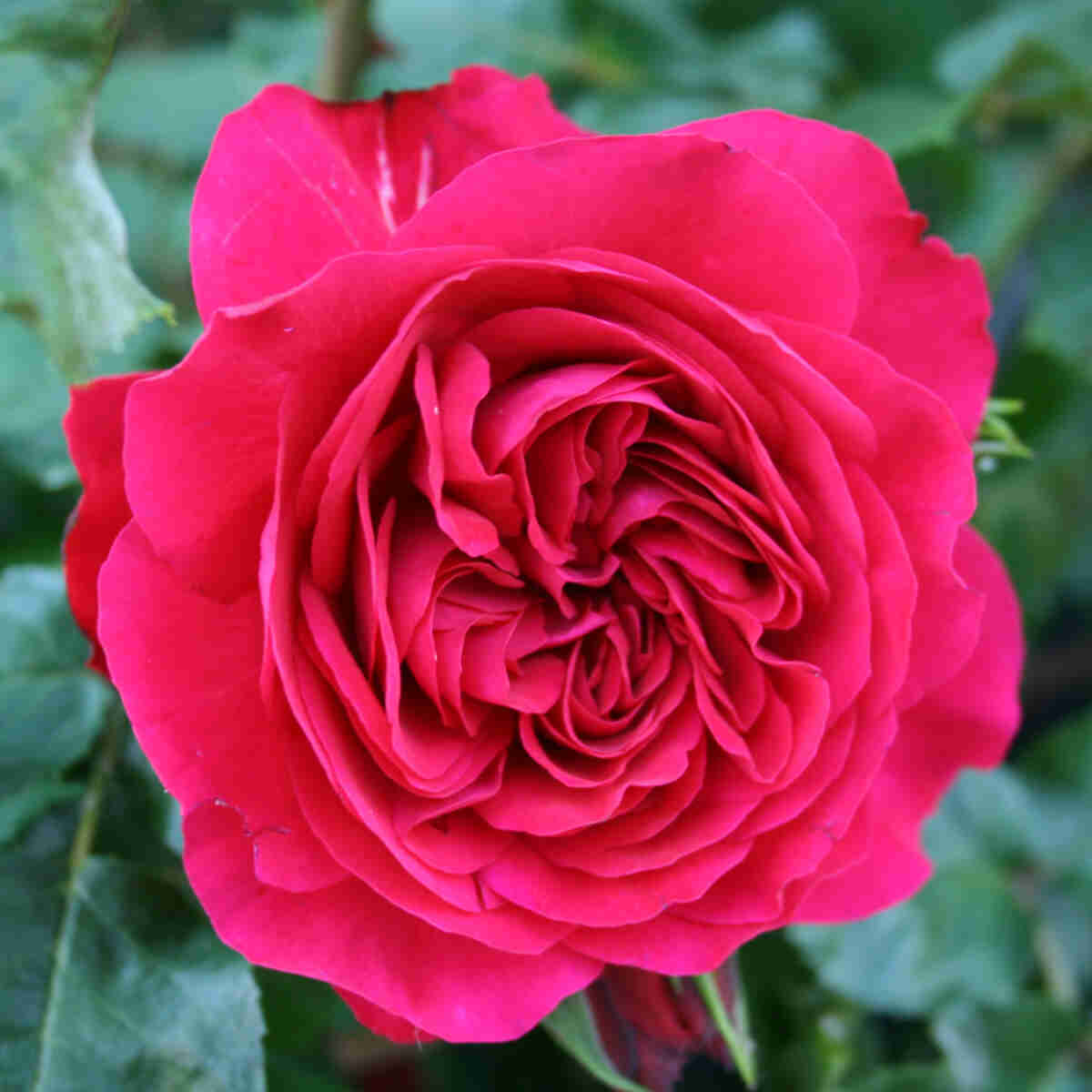 Rose 'Red Leonardo Da Vinci'