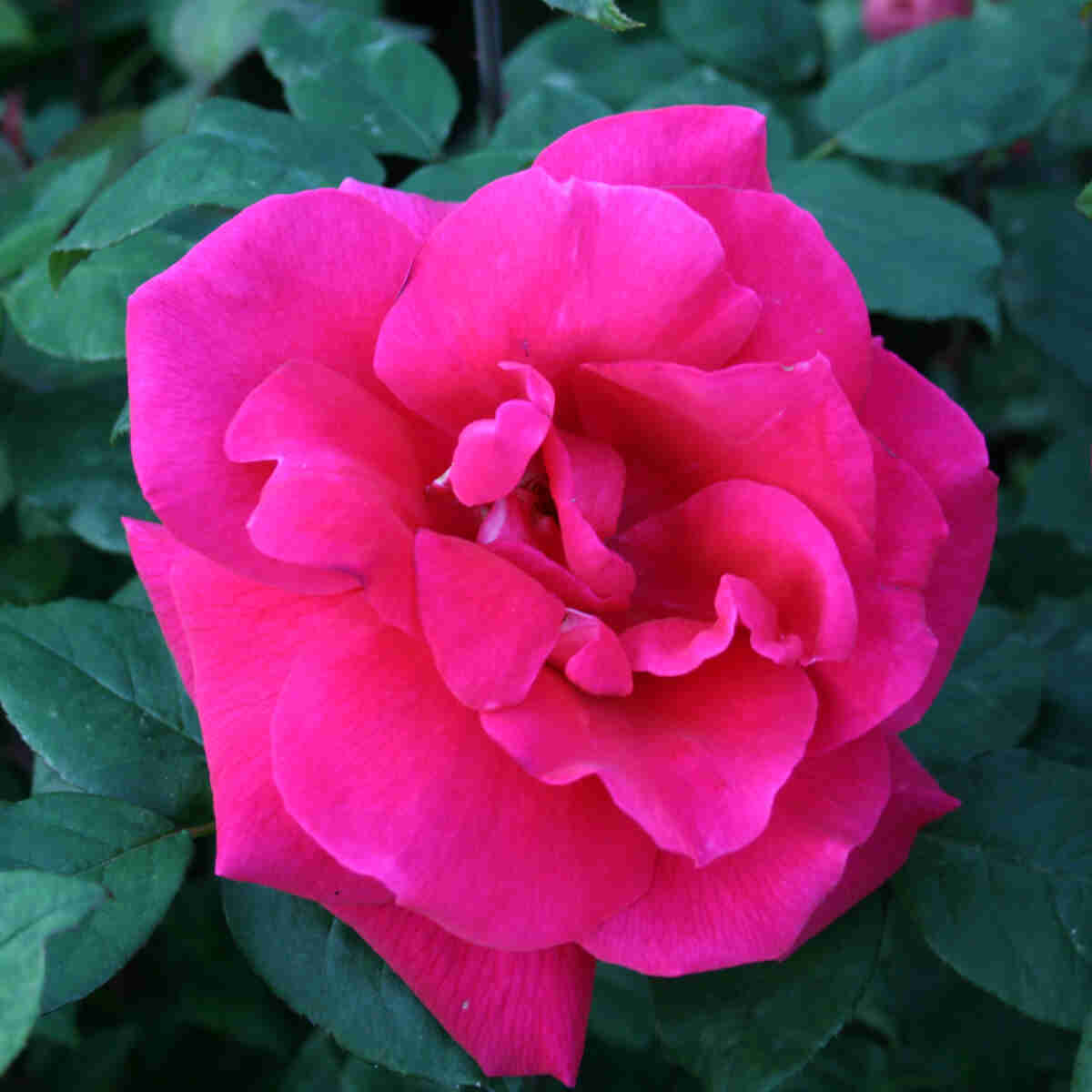 Rose 'Hanne'