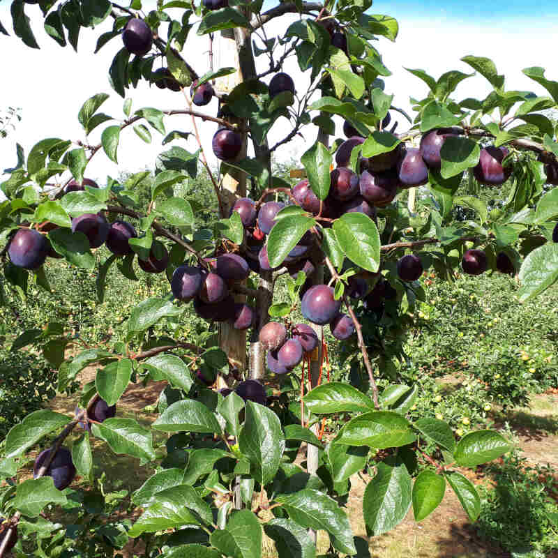 Blommetræ - Prunus domestica 'Ive'