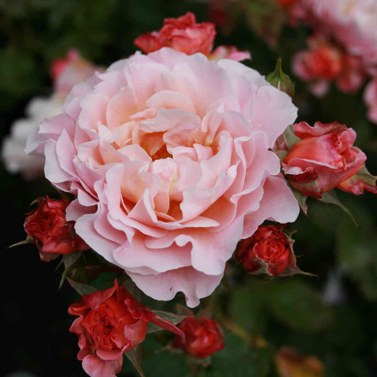 Rose 'Impala'
