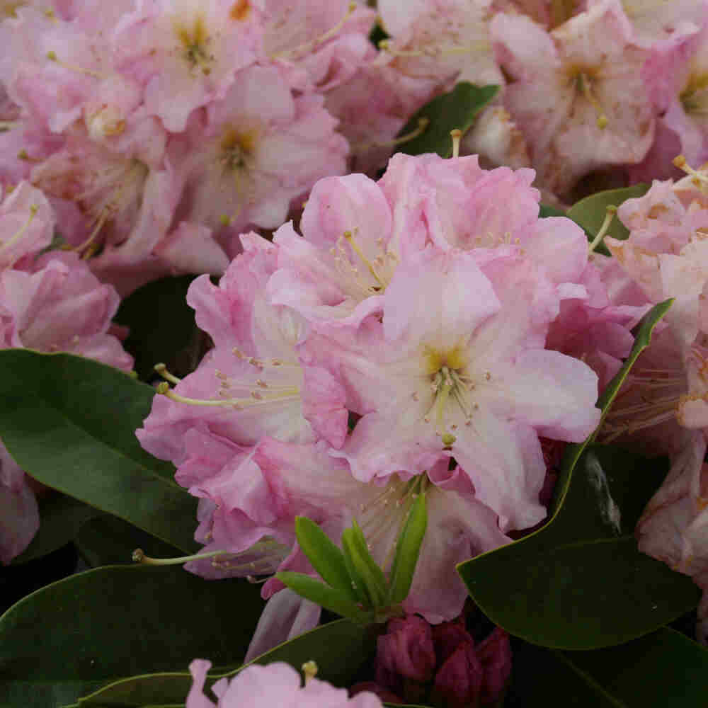 Rhododendron hybrid 'Onkel Dines'