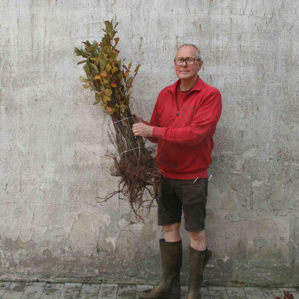 Surbær - Aronia melanocarpa - hækplante