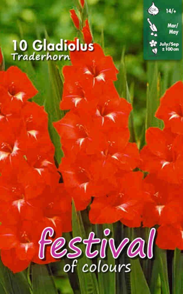 Gladiolus Traderhorn large flowering, 7 stk