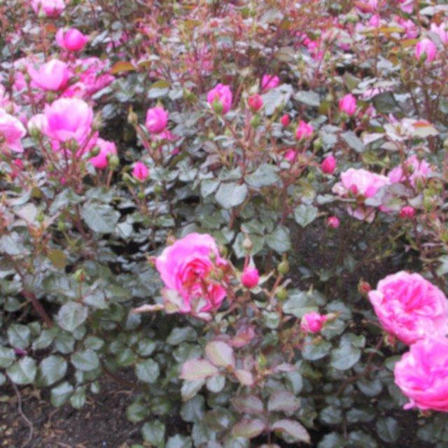 Berleburg rose med blomster