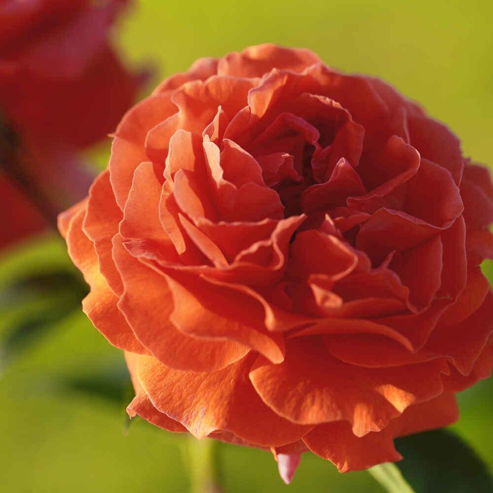 Nyhed Naranga fra Tantau rosen