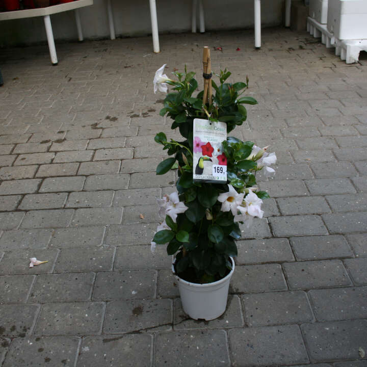 Bægerranke - Dipladenia Hvid