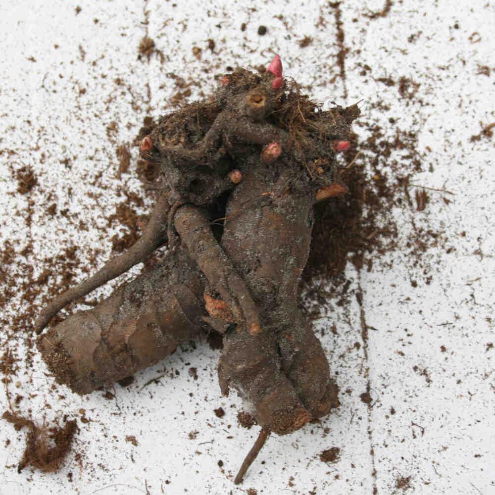 Pæon knold - Paeonia lactiflora 'Alice Harding'