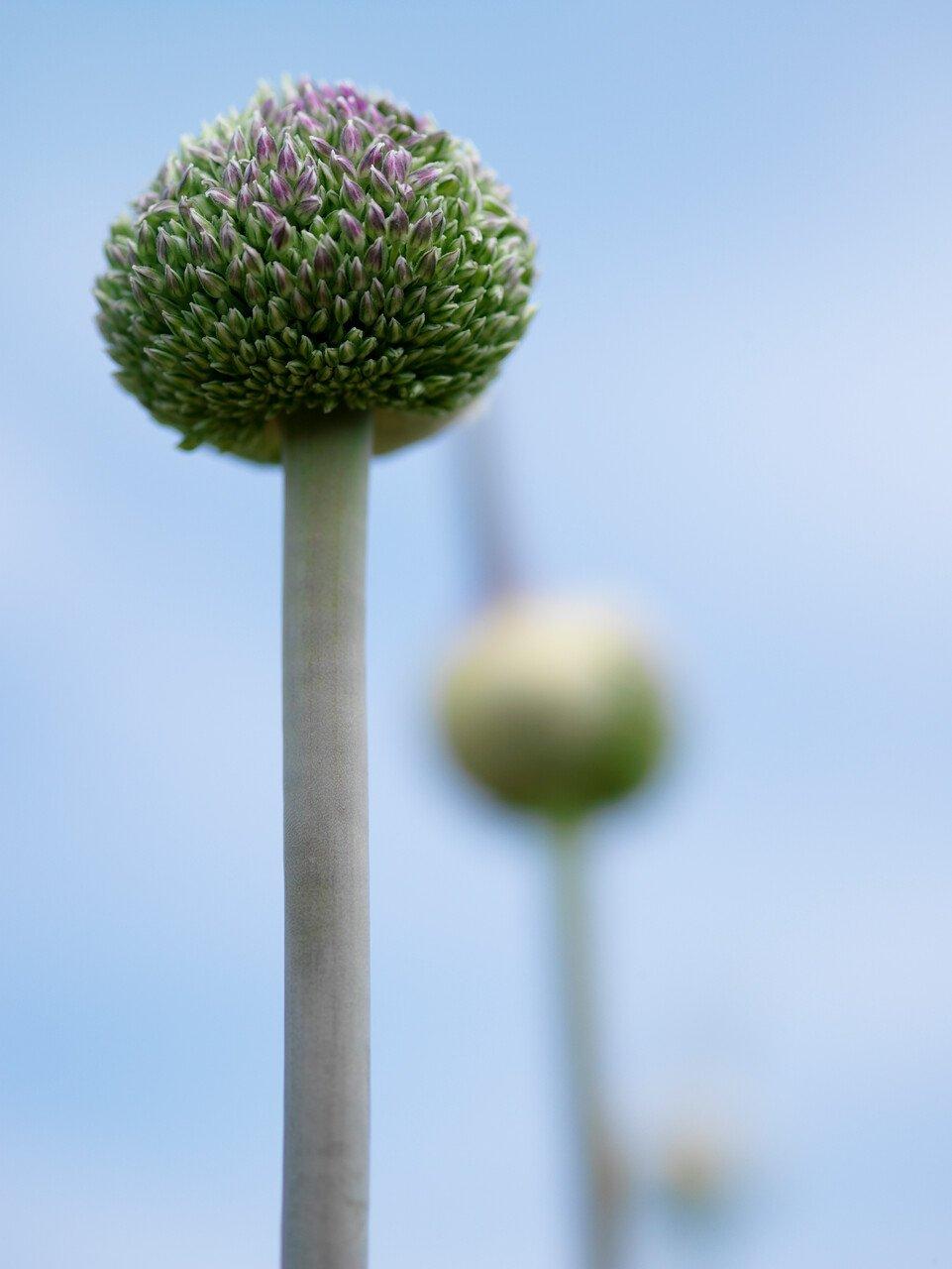 Prydløg - Allium 'Summer Drummer' - 10 stk.