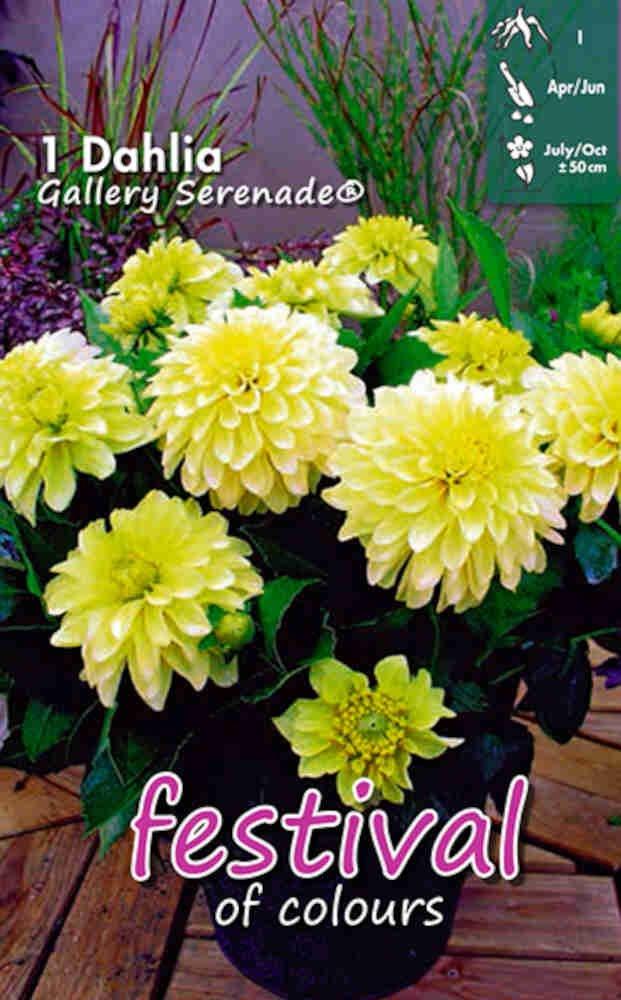 Dahlia 'Gallery Serenade Decorative'
