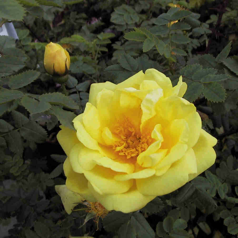 Historisk rose foetida 'Harison's Yellow'