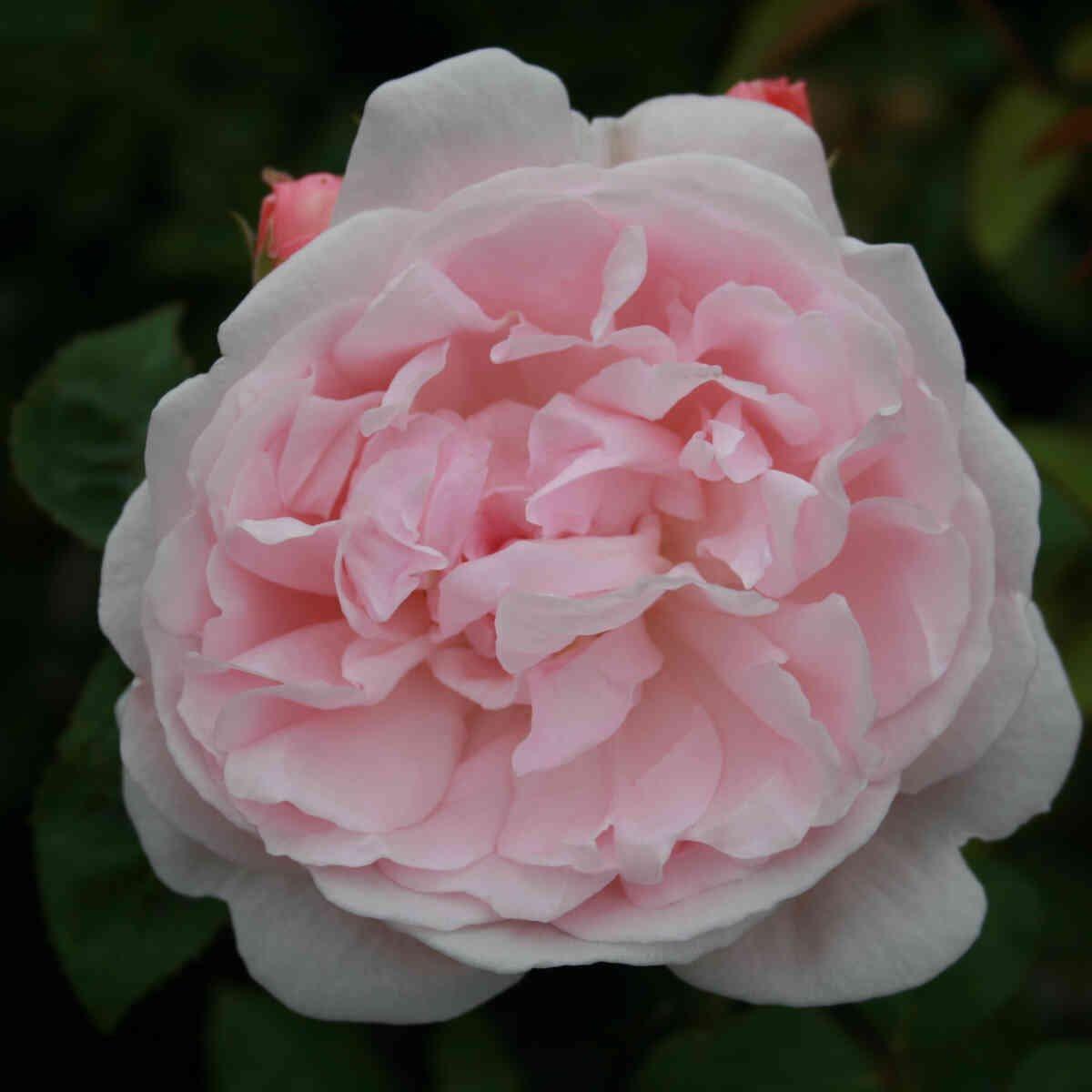 Rose 'Eglantyne'