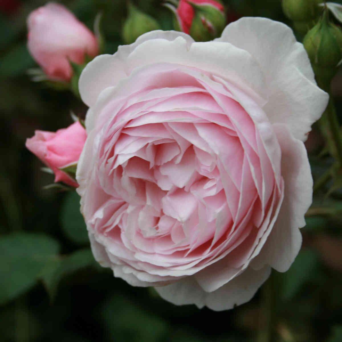 Rose 'Radio Times'