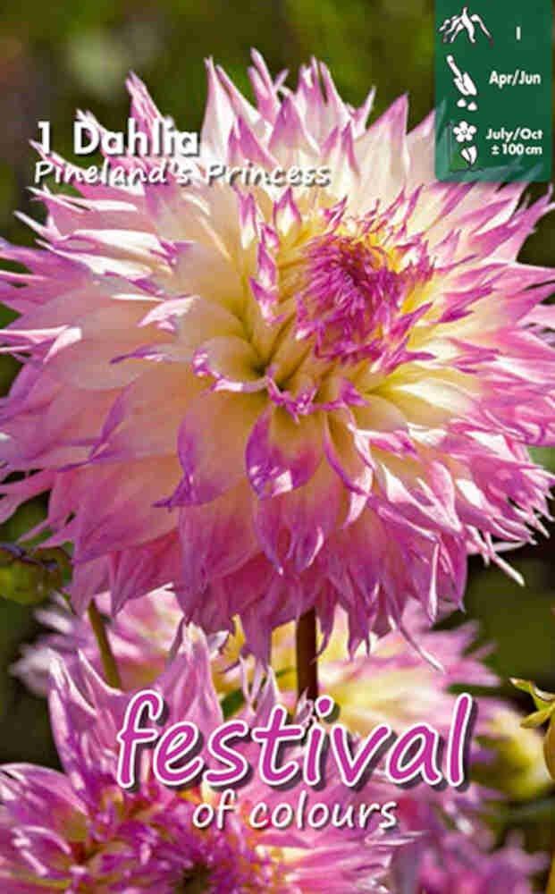 Dahlia Pineland's Princess. Cactus