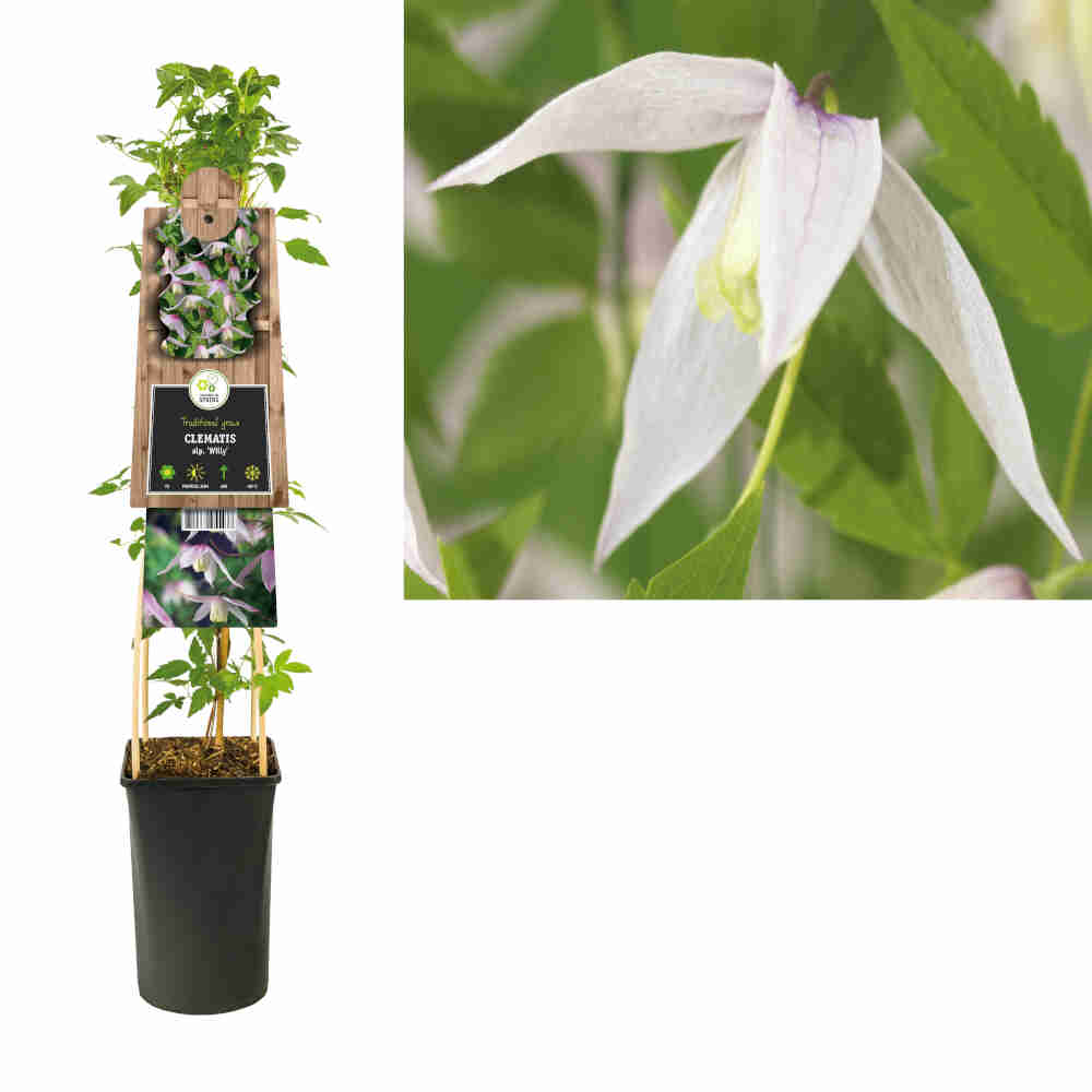 Clematis alpina 'Willy'