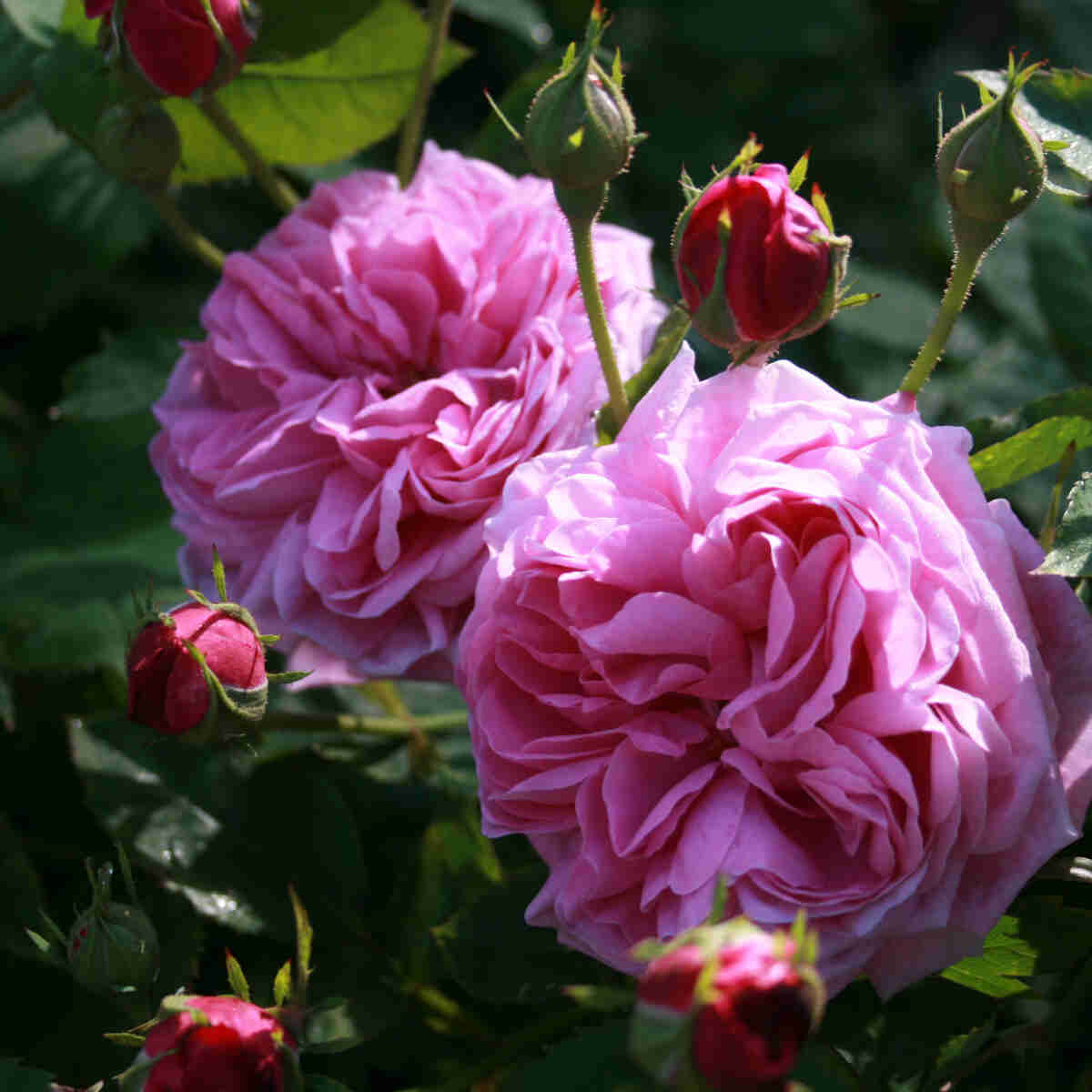 Rose 'Mme Isaac Pereire'