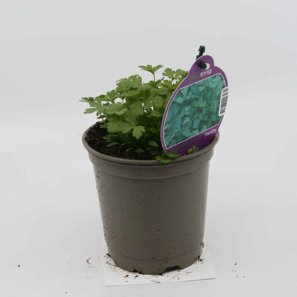 Bredbladet persille - Petroselinum hort. - 10cm potte