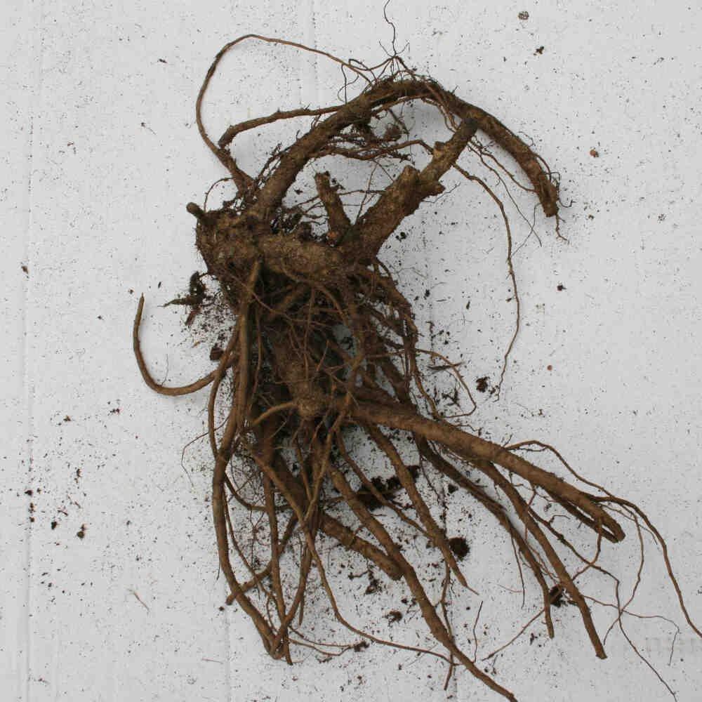 Pæon knold - Paeonia itoh hybrid 'Raggedy Ann'