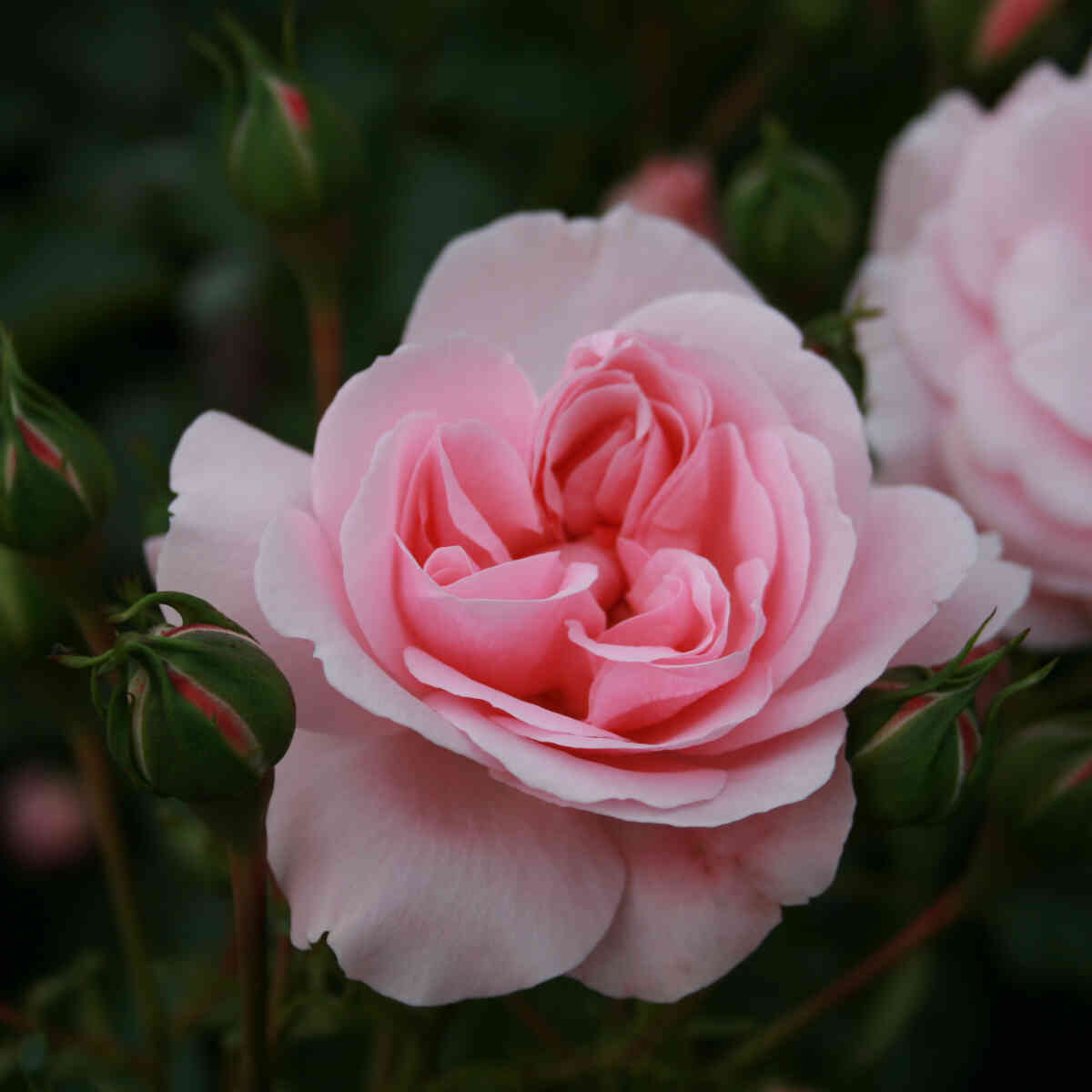 Rose 'Home and Garden'