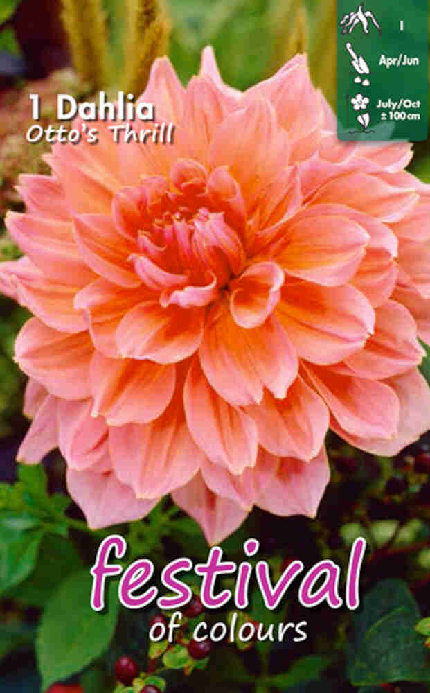Dahlia 'Otto's Thrill Decorative'