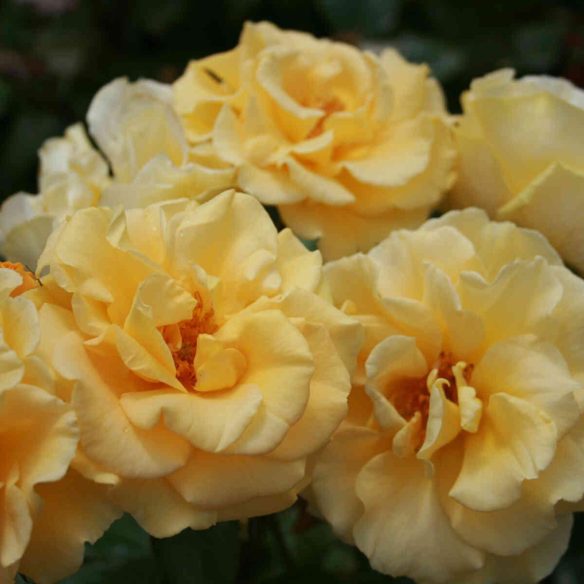 Rose 'Westart'