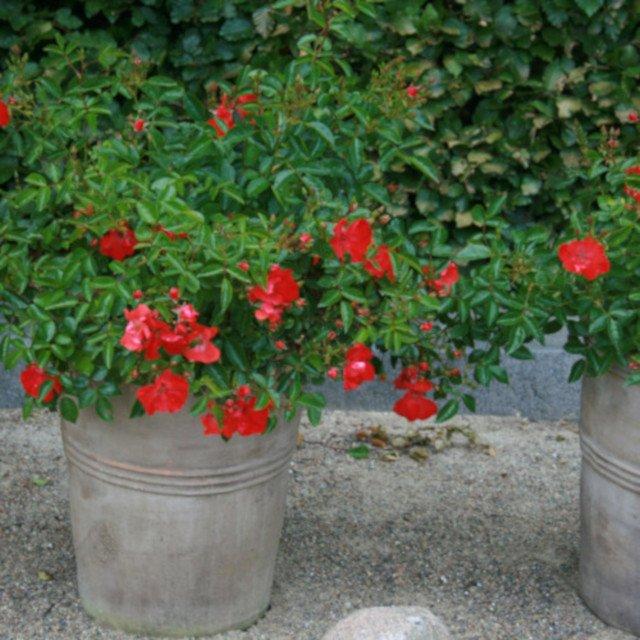 Rose Deseo blomstrer i krukke i Laubjergs Rosenhave