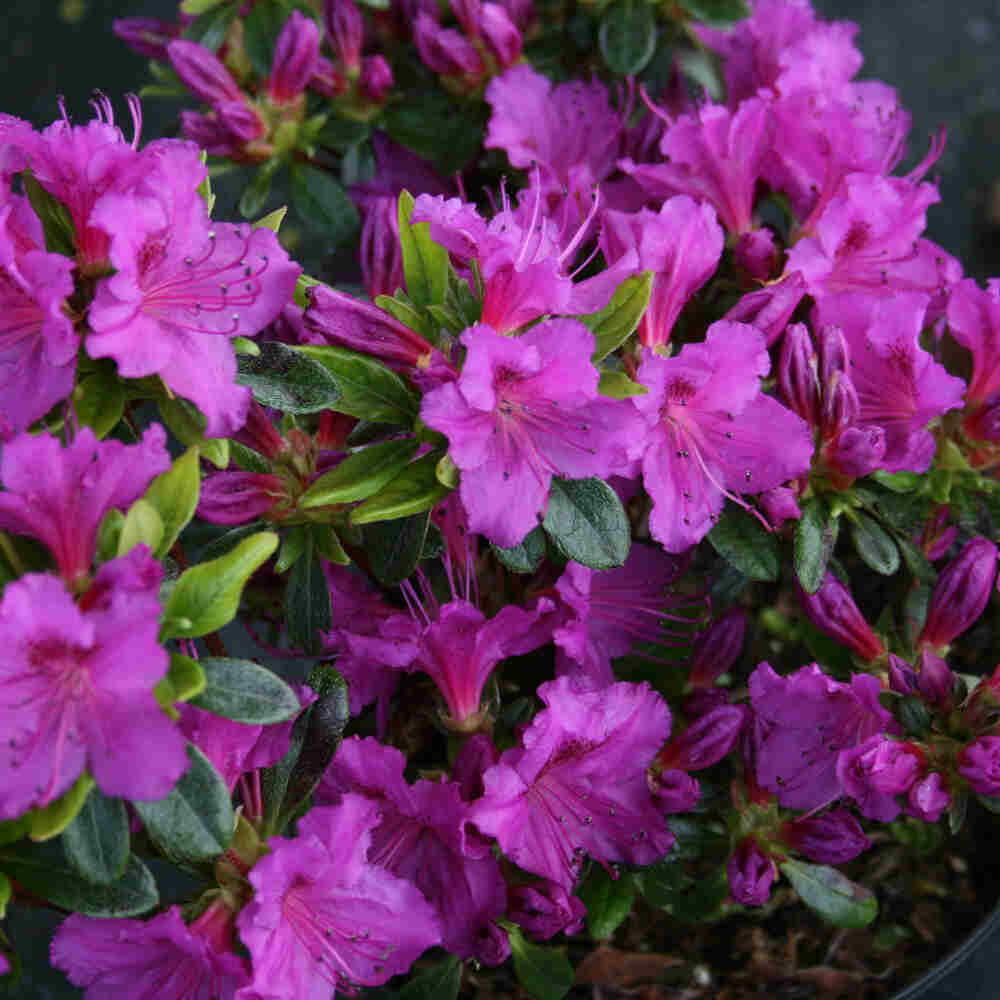 Japansk azalea - Rhododendron japonica 'Königstein'