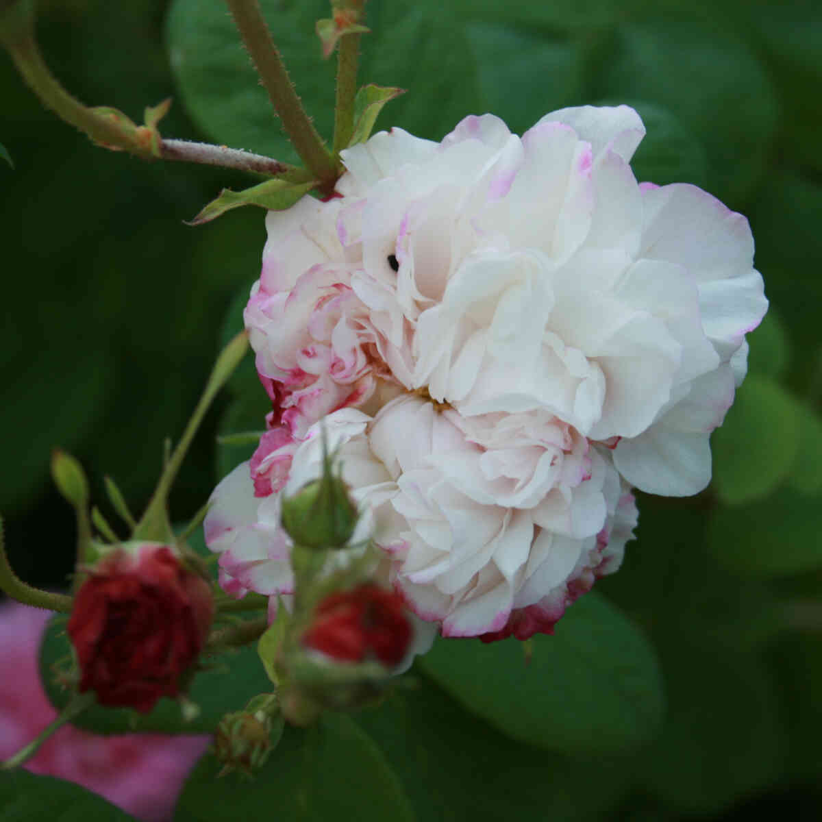 Rose 'Leda'