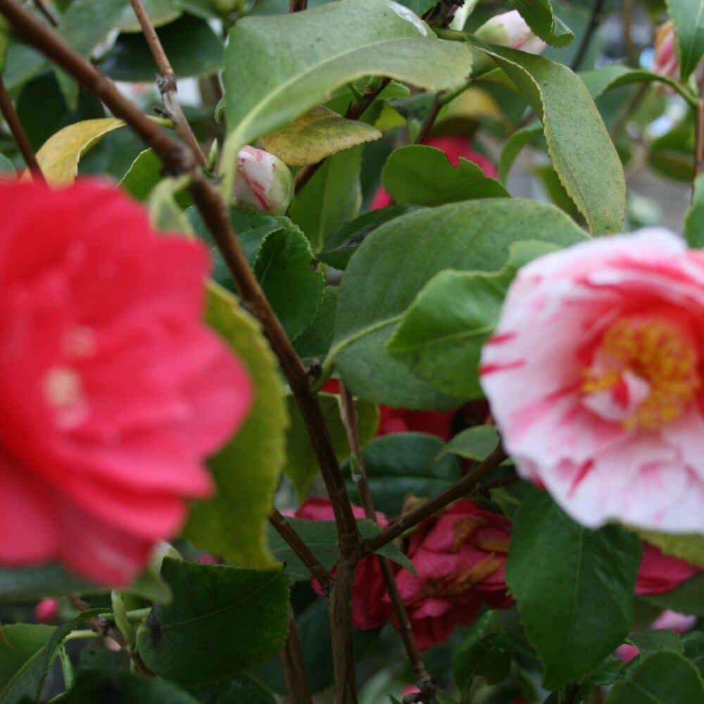 Kamelia - Camellia japonica 'Maggi Striata'