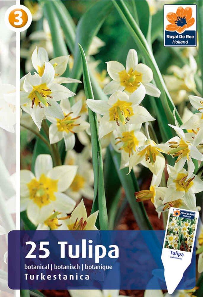 Tulipanløg - Tulipa turkestanica 6/+, 25 stk.
