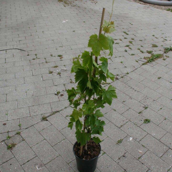 Vindrueplante - Vitis vinifera 'Heike'