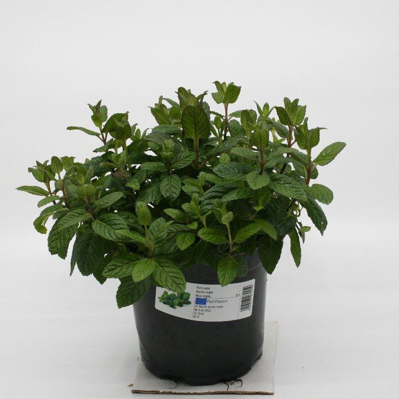 Mynte Mojito - Mentha spicata 'Mojito' - 14cm potte