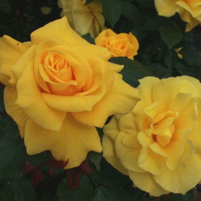 Rose 'Friesia'