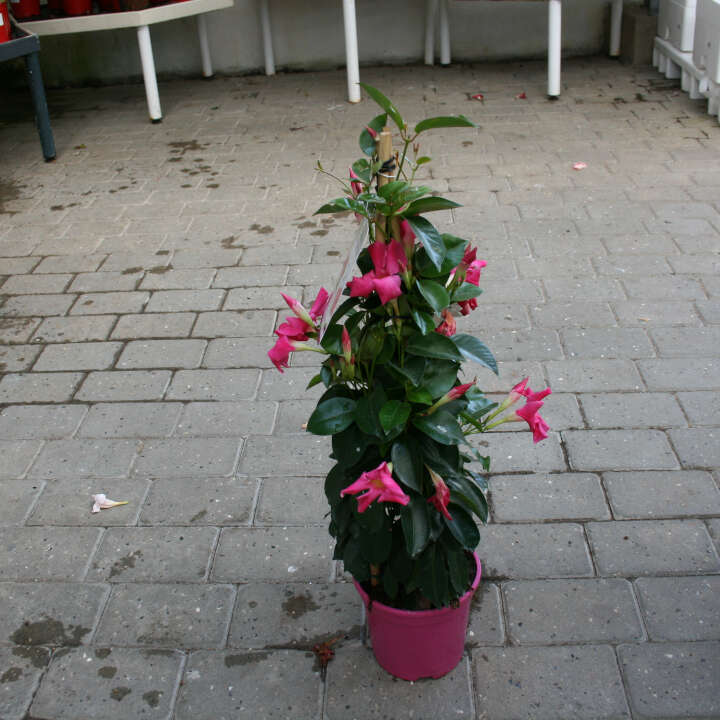 Bægerranke - Dipladenia Pink
