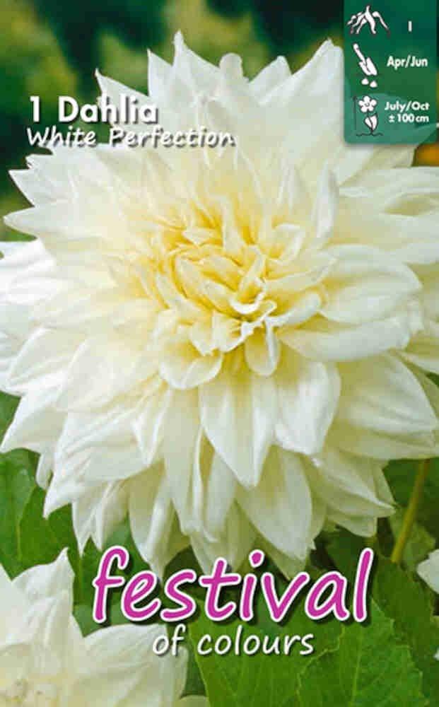 Dahlia White Perfection Deco