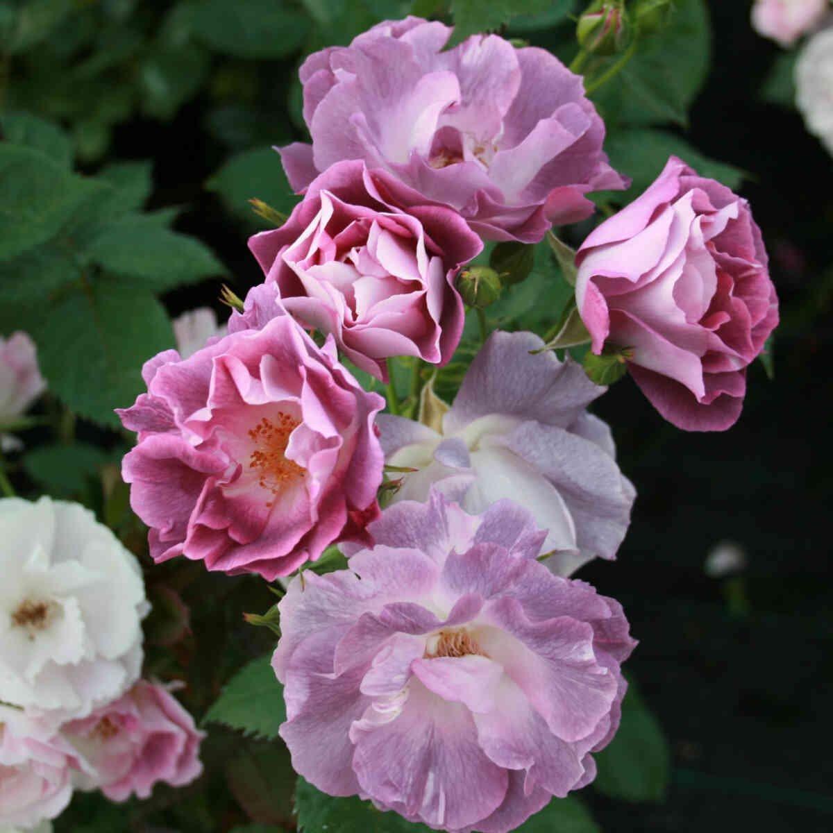 Blå violette blomster i Blue for you