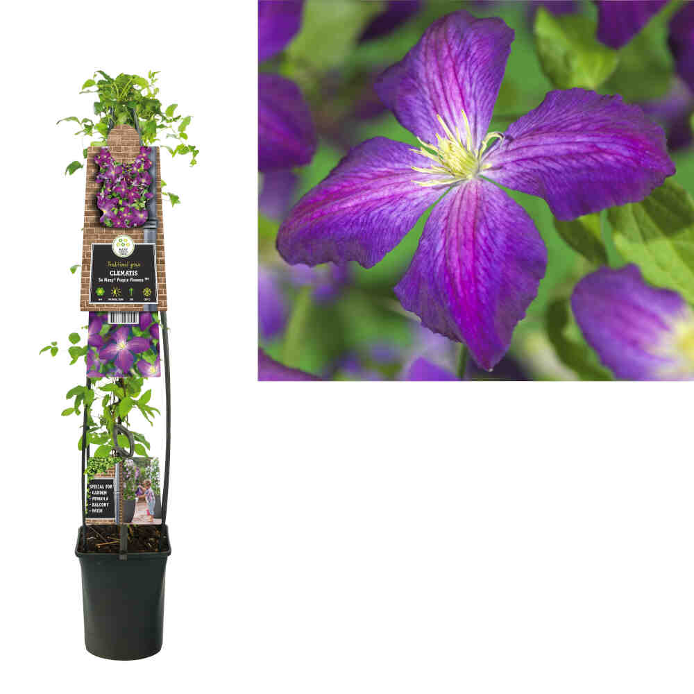Clematis So Many(R) Purple Flowers PBR