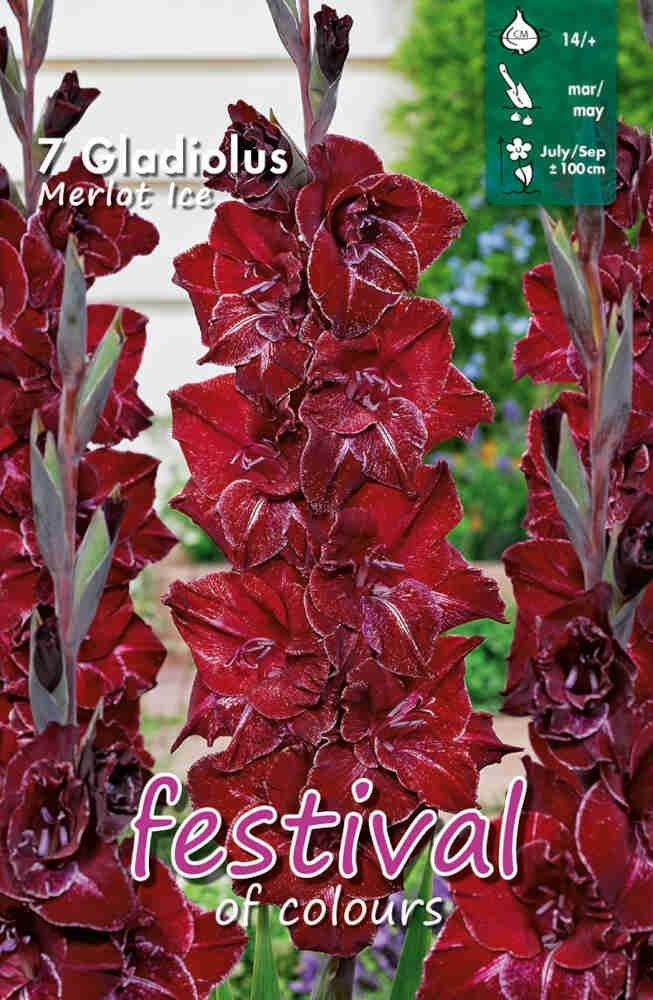 Gladiolus Merlot  Ice, large flowering, 7 stk