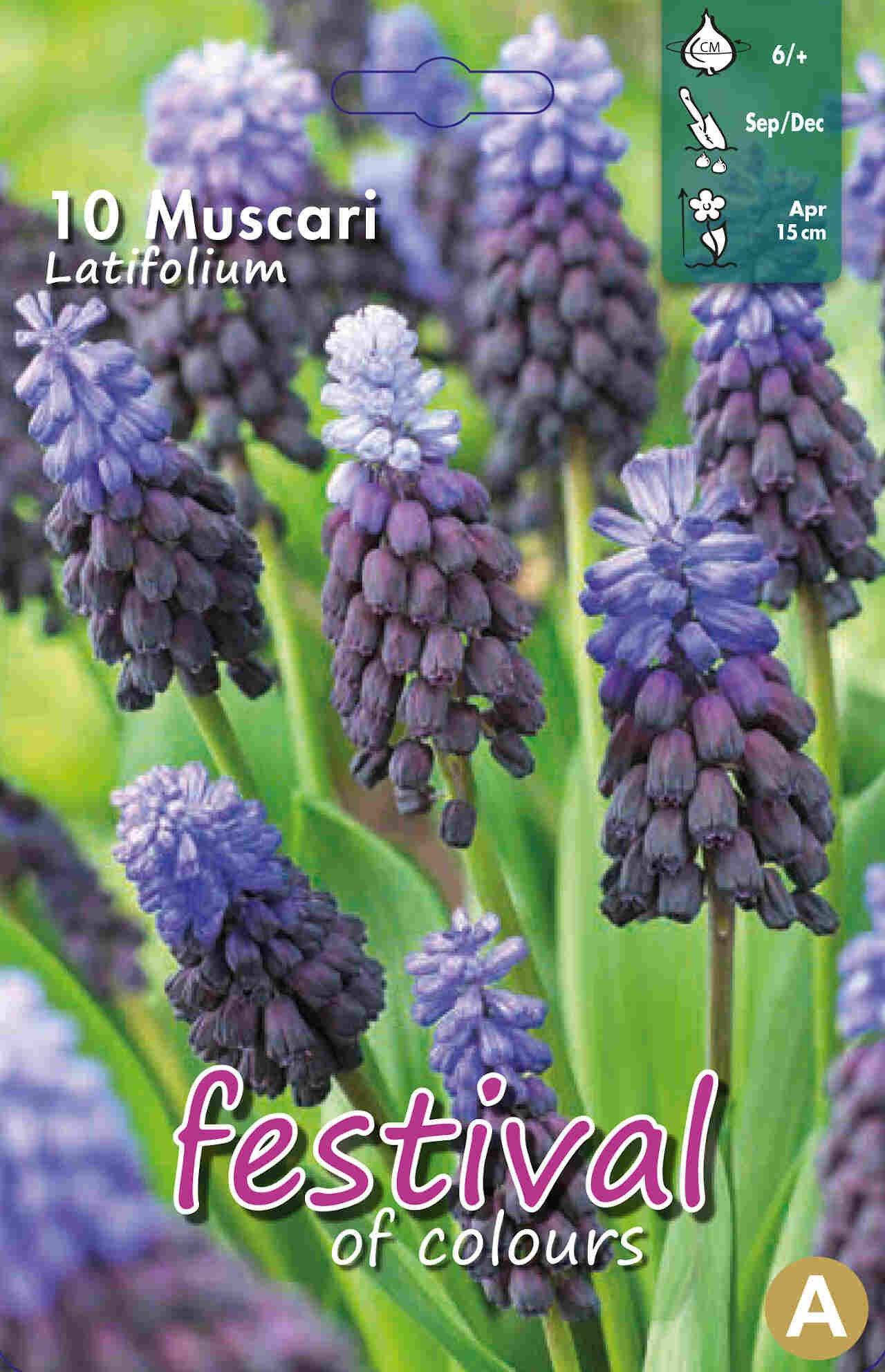 Perlehyacint - Muscari Latifolium 6/+
