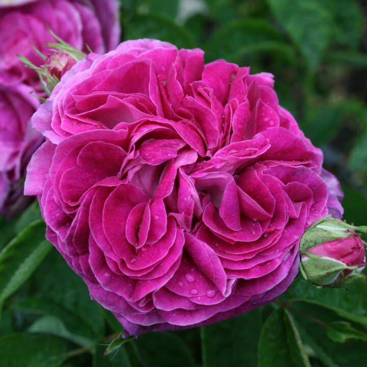 Rose gallica 'Charles de Mills'