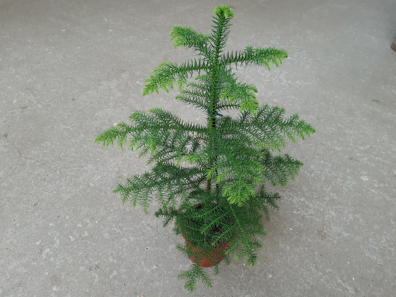 Stuegran - Araucaria heterophylla