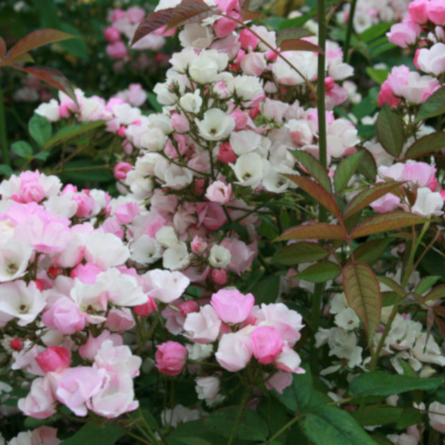 Moschata rose Menja helt fyldt med blosmter