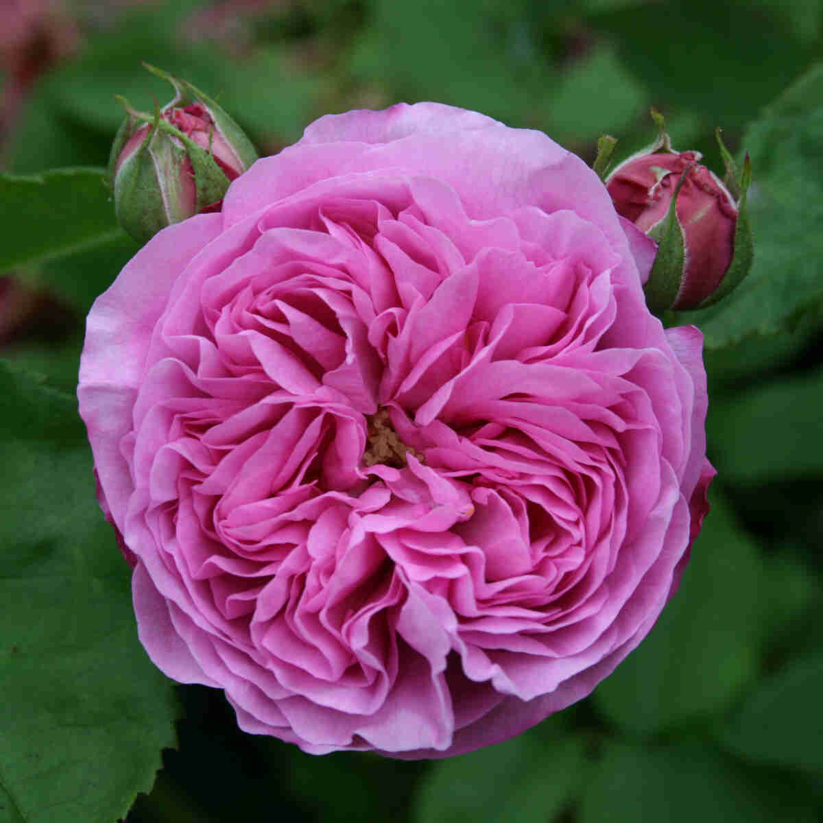 Rose 'Louise Odier'