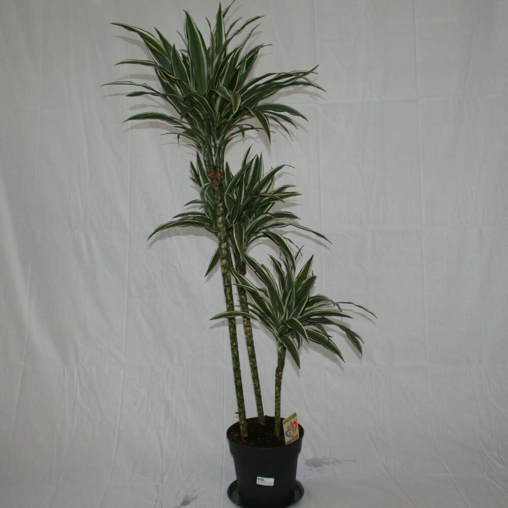 Dracæna - Dracaena 'White Stripes'