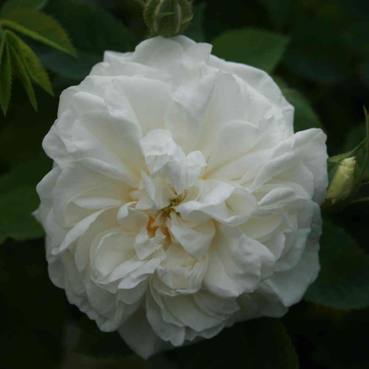 Helt hvid blomst i alba rose Blanche de Belgique