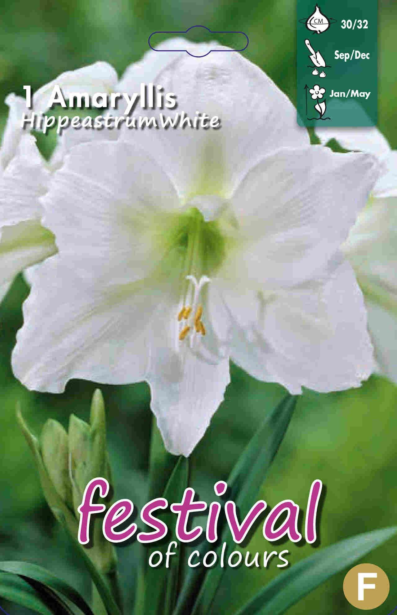 Amaryllis White 30/32