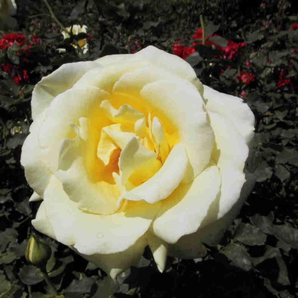 Rose 'Peaudouce'