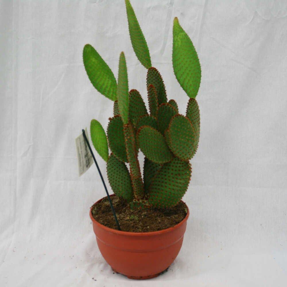 Figenkaktus - Opuntia microdasys - Bowl