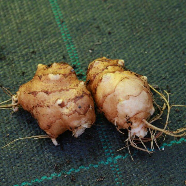 Jordskokker - Helianthus tuberosus - Flere varianter