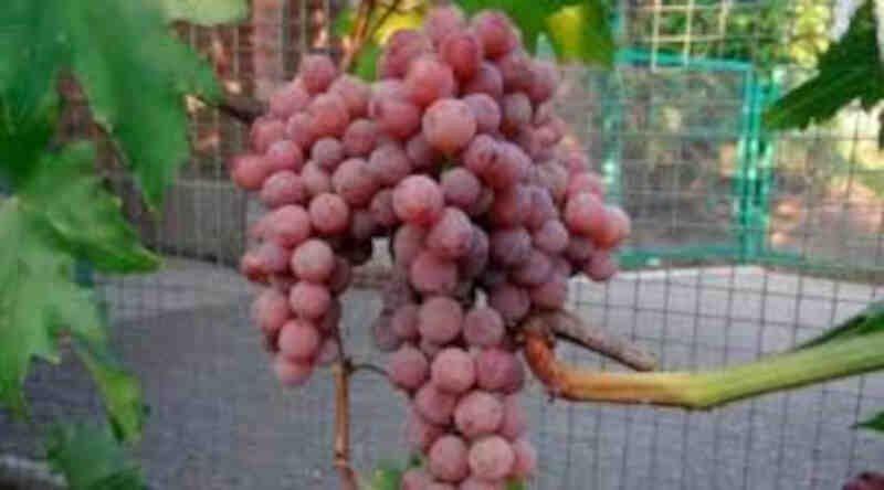 Vindrueplante - Vitis vinifera 'Einset'